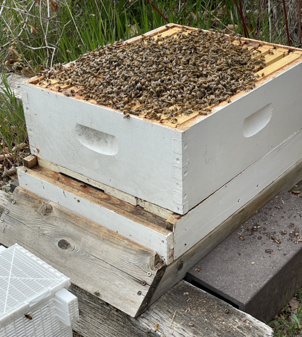 Bees on top of the hive frames